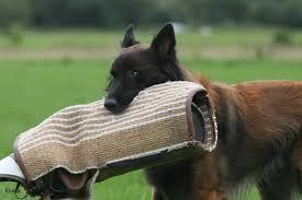belgian shepherd diesel kennel eloisa