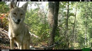 Can Coyotes See Red Light Confusing Canids Differentiating Red Foxes Grey Foxes And
