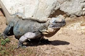 iguana island exuma island iguana sensory evolution