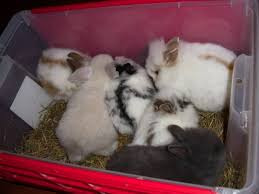 lion heads for sale baby lionheads and lop bunnies for sale for sale in