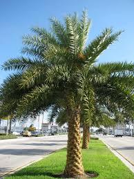 sylvester date palm tree sylvester date panorama tree care