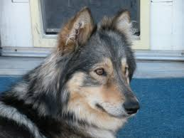 australian shepherd sheltie mix dog breeds wilde about dogs