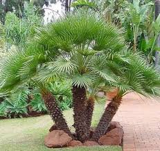 mediterranean fan palm tree mediterranean palm is an excellent choice for planters or as a