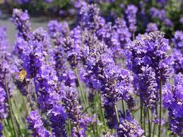 Catnip Flower - 100 natural ingredients mozproducts
