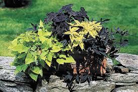 margarita sweet potato vine ornamental sweet potato vine is a