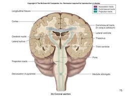 Pyramids Of The Medulla Brain And Cranial Nerves