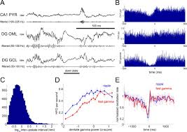 relationships between hippocampal sharp waves ripples and fast