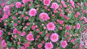 flower flowers pink chrystanthemum autumn flower wallpaper