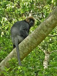 primate wikipedia
