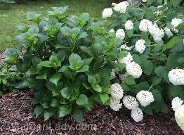 hydrangeas flowers gardenlady why isn t my blue hydrangea flowering