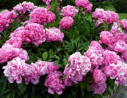 peony flowers peonies how to plant grow and care for peony flowers the