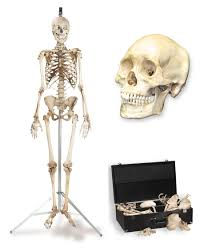 halloween skeleton jokes humans real human skulls u0026 skeletons skulls and skeletons by
