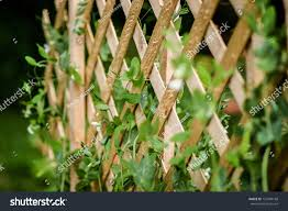 sugar snap peas growing trellis organic stock photo 127409168