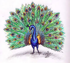 clipart library more like draw a peacock colored by diana huang