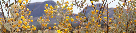 australian native plants guide plants and animals uluru kata tjuta national park parks australia