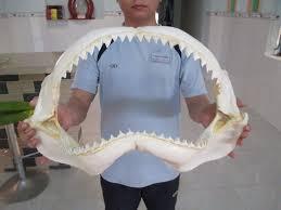 strange home decor 20 u0027 great white shark jaw fossil teeth tooth taxidermy strange