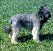 belgian sheepdog on petfinder adopt a briard dog breeds petfinder