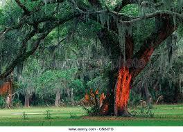 large tree stock photos large tree stock images alamy