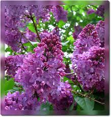 lilac flowers purple lilac state symbols usa