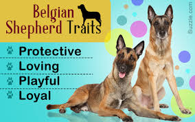 belgian sheepdog health problems utterly fabulous information about the belgian shepherd dog breed