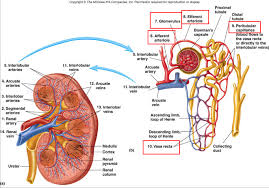 Urinary Tract Anatomy And Physiology Gross Anatomy Of Kidney Gallery Learn Human Anatomy Image