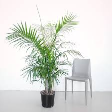 large indoor plants 5 u0027 6 u0027 potted in modern planters plants in