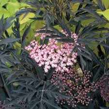 new ornamental elderberry garden org