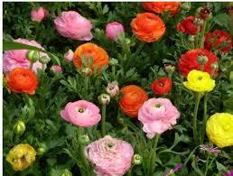 Ranunculus Flower Aliexpress Com Buy Sale 40pcs Ranunculus Flowers Seeds