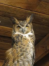 owl oklahoma trails exhibit oklahoma city zoo mapio net