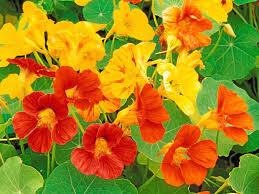 nasturtium flowers nasturtiums are colorful edible and easy to grow redlands daily