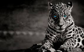 white tiger with blue wallpaper 3d wallpapers gallery