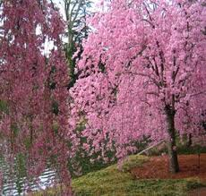 japanese weeping cherry tree higan live plant