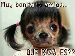 Memes De Chihuahua - list of synonyms and antonyms of the word perrita memes