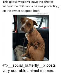 Meme Chihuahua - this pitbull wouldn t leave the shelter without the chihuahua he