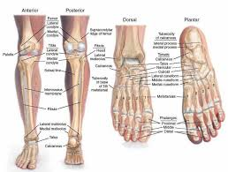 Calcaneus Anatomy Anatomy Organ Pictures Anatomy Of The Human Foot New Collection
