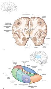 Thalamus Part Of The Brain The Forebrain Organization Of The Central Nervous System Part 1
