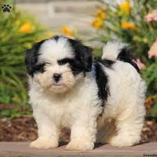 puppies for sale shih tzu puppies for sale in de md ny nj philly dc and baltimore