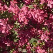 the flowering crab apple tree flowering ornamental trees for