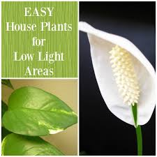 house plants no light best plants for low light areas home garden joy