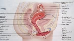 Female Anatomy Organs Female Reproductive System With Male Reproductive Organ Male