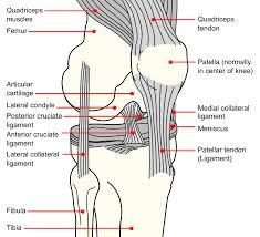 Anatomy Of Knee Injuries The Lower Limb Boundless Anatomy And Physiology