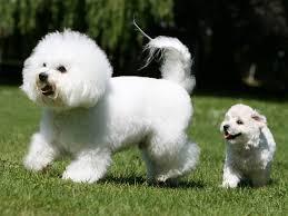 bichon frise meme bichon à poil frisé chien et chiot gelockter bichon bichon