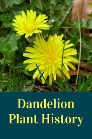 28 dandelion facts dandelion facts dandelion flower facts dandelion facts dandelion plant history and facts gardening know how s blog