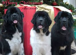 newfies big dogs animal and