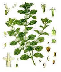 horehound candy where to buy marrubium vulgare