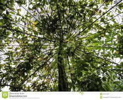 tree canopy growing around trellis stock photo image 84054395