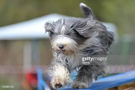 bearded collie mini bearded collie stock photos and pictures getty images