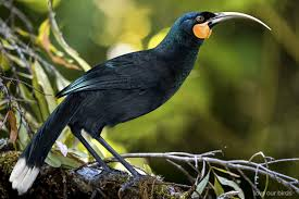 huia new zealand birds online