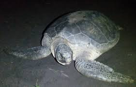 turtle beach lodge tortuguero national park costa rica hotel