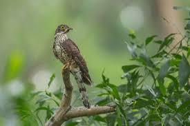 large hawk cuckoo singapore bird group